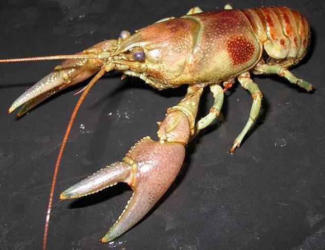 Rusty Crawfish